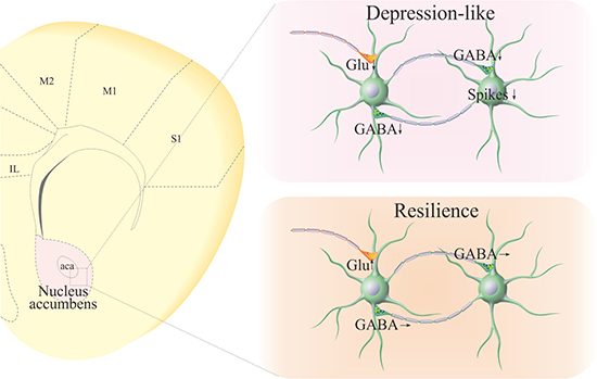 Pathological changes at GABAergic neurons in the nucleus accumbens of CUMS-induced depression mice, compared with those in CUMS-resilience mice.