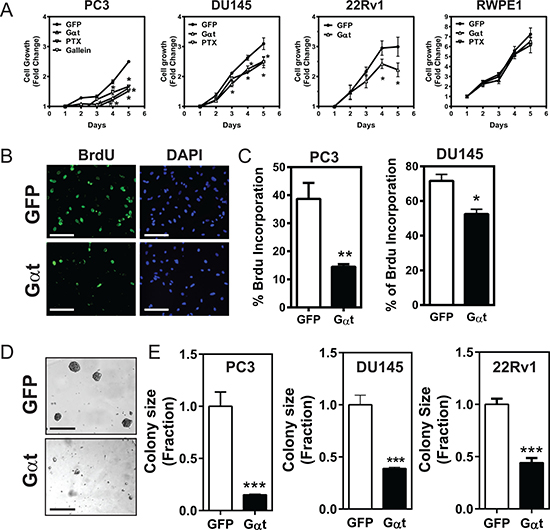 Blocking Gβγ signaling via Gαt decreases prostate cancer cell proliferation.