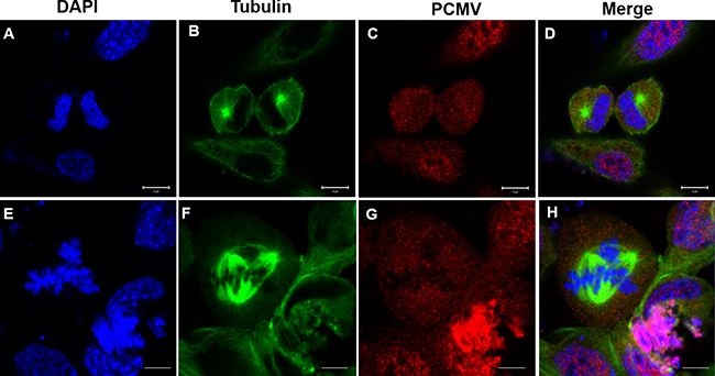 Effects of P. clarkii kifc1 overexpression on GC1 cell mitosis.