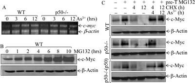 Fig 2: p50 positively regulated c-Myc protein expression through inhibiting its protein degradation.