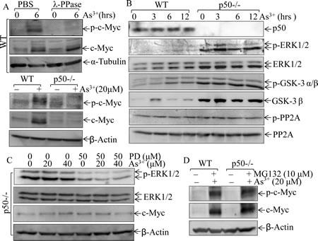 Fig 3: p50 enhanced c-Myc expression through a phosphorylation-independent pathway.