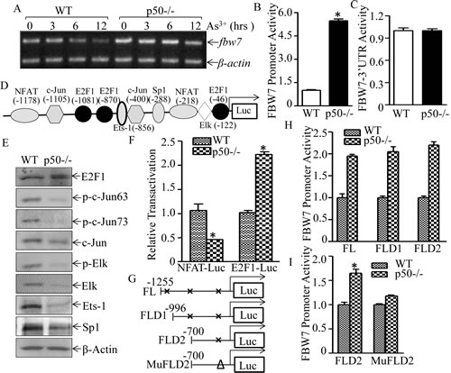 Fig 6: p50 suppressed fbw7 mRNA transcription by inhibiting E2F1 activation.
