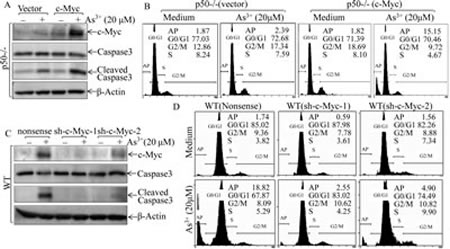 Fig 7: c-Myc induction mediated by FBW7 downregulation was required for apoptotic response following arsenite exposure.