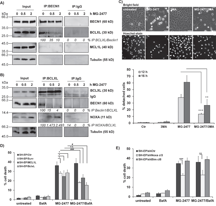 MG-2477-induced cell death depends on re-organization of pro- and anti-apoptotic proteins.