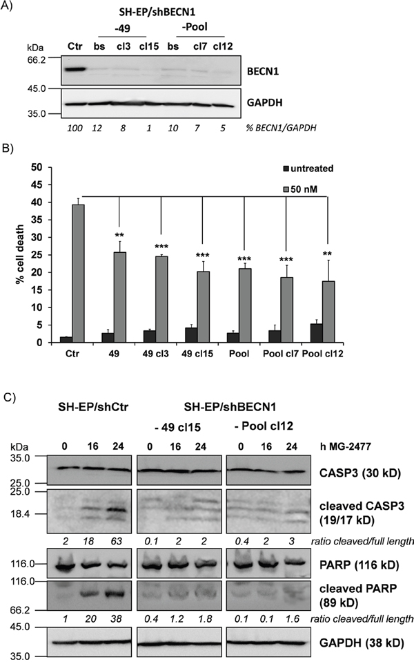 BECN1 is critical for MG-2477-induced cell death.