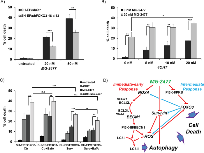 FOXO3-activation enhances MG-2477-induced cell death.