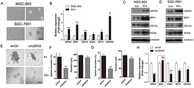 Inhibitory effect of USP22-silencing on gastric CSC formation.