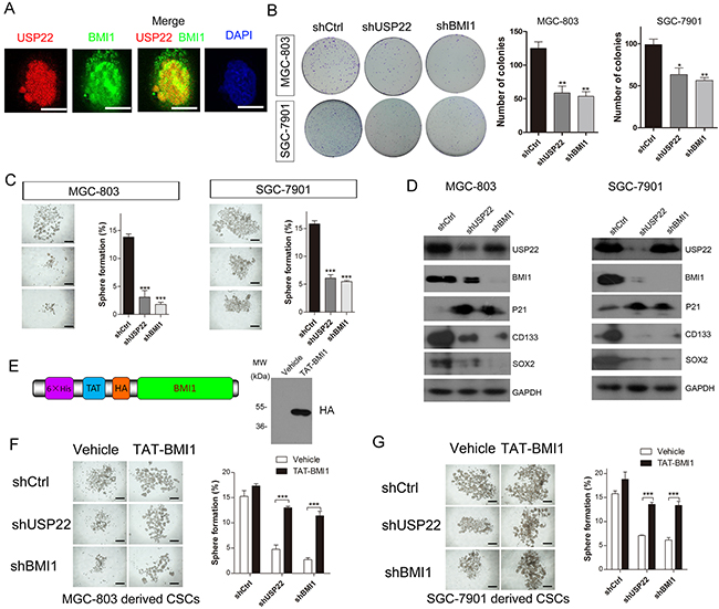 USP22 silencing inhibits gastric CS formation by regulating BMI1 protein levels.