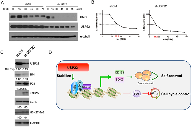 USP22 is associated with BMI1 protein stability.