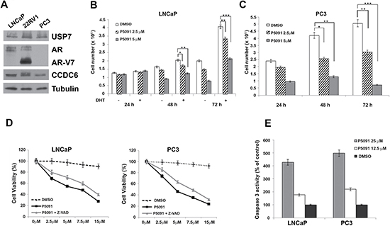 Pharmacological inhibition of USP7 affects prostate cancer cell proliferation.
