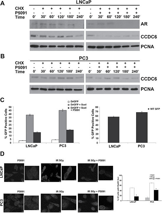 P5091 controls CCDC6 stability and affects the DSBs DNA repair in prostate cancer cells.