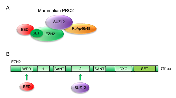 Oncotarget Role Of Ezh2 In Cancer Stem Cells From Biological