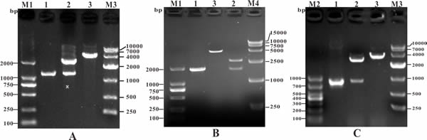 Identification of recombinant cloning plasmids by PCR and restriction enzyme digestion.