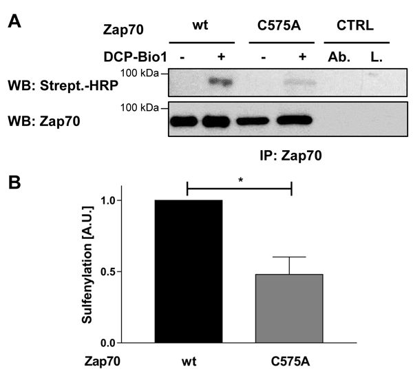 Sulfenylation of Zap70wt and the C575A mutant in P116 cells.