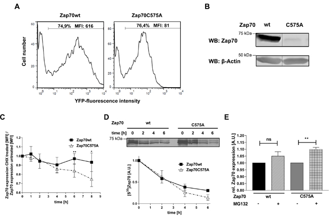 Analysis of protein stability of Zap70C575A.