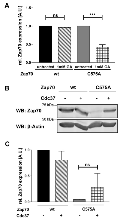 The Hsp90/Cdc37 complex stabilizes the expression of Zap70C575A.