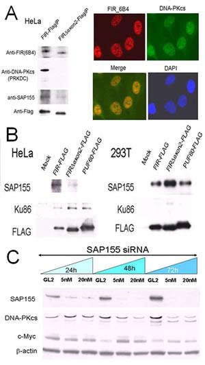 FIR/SAP155 and Ku86/DNA-PKcs potentially form a complex
