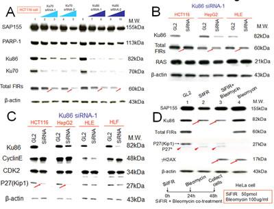 Knockdown of Ku86 with siRNA decreased FIR and vice versa.
