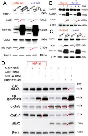 Ad-FIRΔexon2 increased Ku86/Ku70, P27Kip1, and c-Myc but not SAP155 in human HCC or HeLa cells.