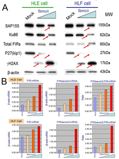BLM treatment decreased SAP155 and significantly increased FIR and FIRΔexon2 mRNA expression as well as the FIRΔexon2:FIR ratio in hepatoblastoma (HLE and HLF) cells.