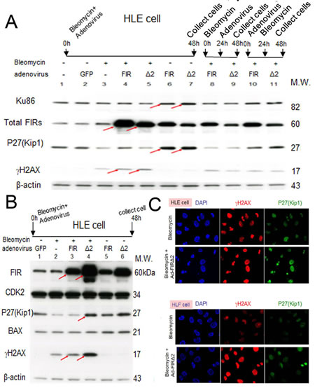 Ad-FIRΔexon2, rather than Ad-FIR, increased BLM-induced DNA damage as indicated by γH2AX in HLE and HLF cells.