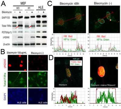 BLM induced DNA damage in MEFs.