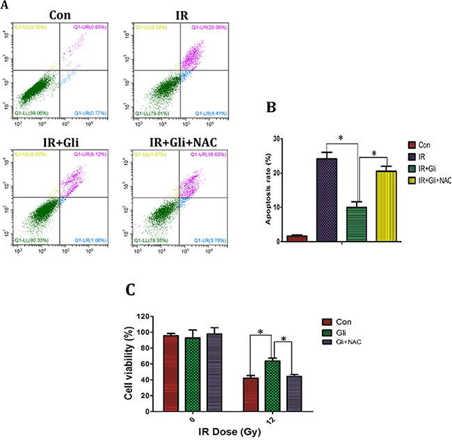 Elimination of ROS wiped off the protective effect of glibenclamide on irradiated NCTC-1469 cells.