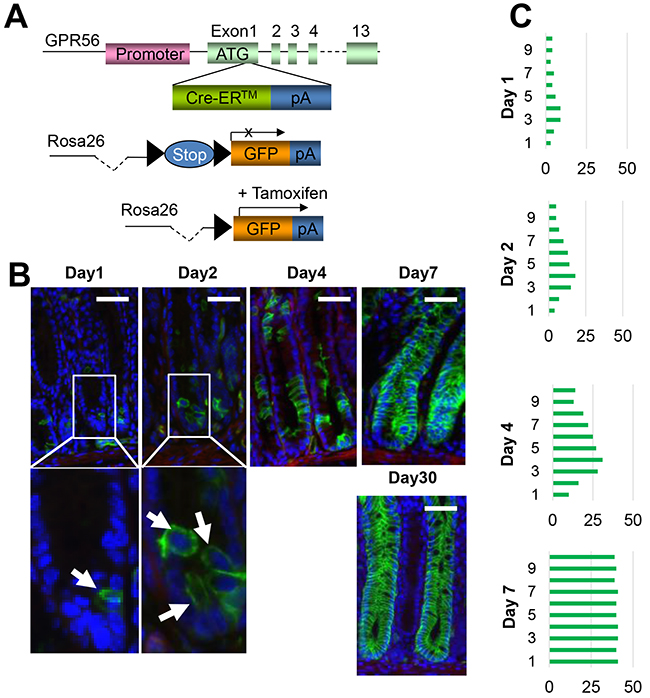 GPR56 labels colonic stem or progenitor cells.