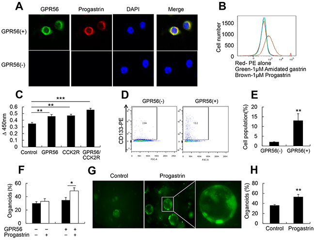 Progastrin binds to GPR56 to increase cell proliferation.