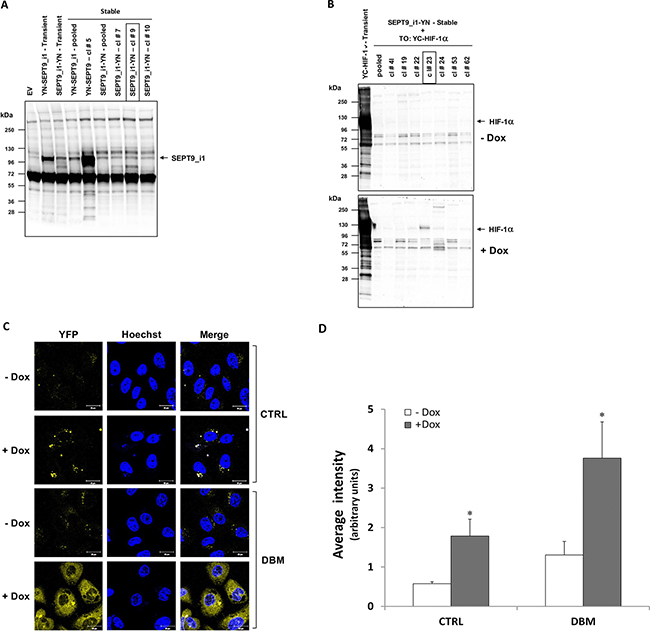 Stable expression of split-YFP SEPT9_i1-YN and inducible YC-HIF-1α increases the BiFC signal.