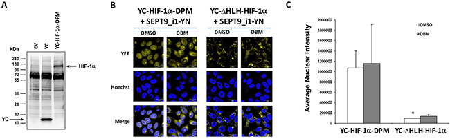 Double-proline mutated YC-HIF-1α increases nuclear BiFC signal.