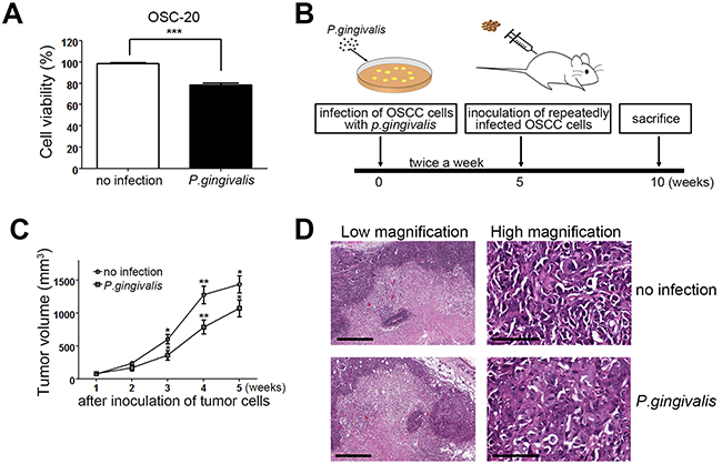 Figure 1. Tumor mass growth was slowed in OSCC cells with a sustained P. gingivalis infection.
