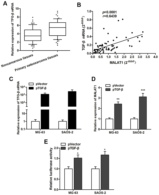 TGF-β is involved in the regulation of MALAT1 expression.