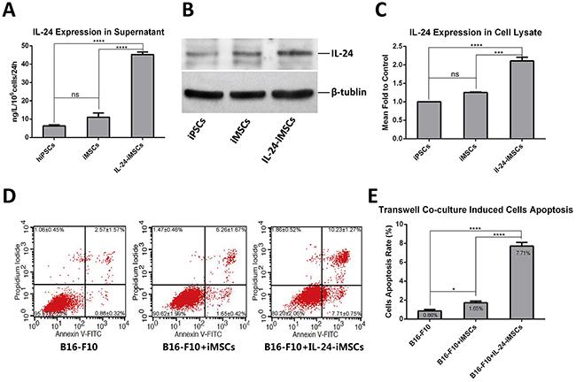 IL24-iMSCs induce in vitro melanoma cell apoptosis.