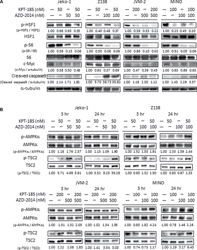 Molecular pathways affected by KPT-185 and AZD-2014 in MCL cells.