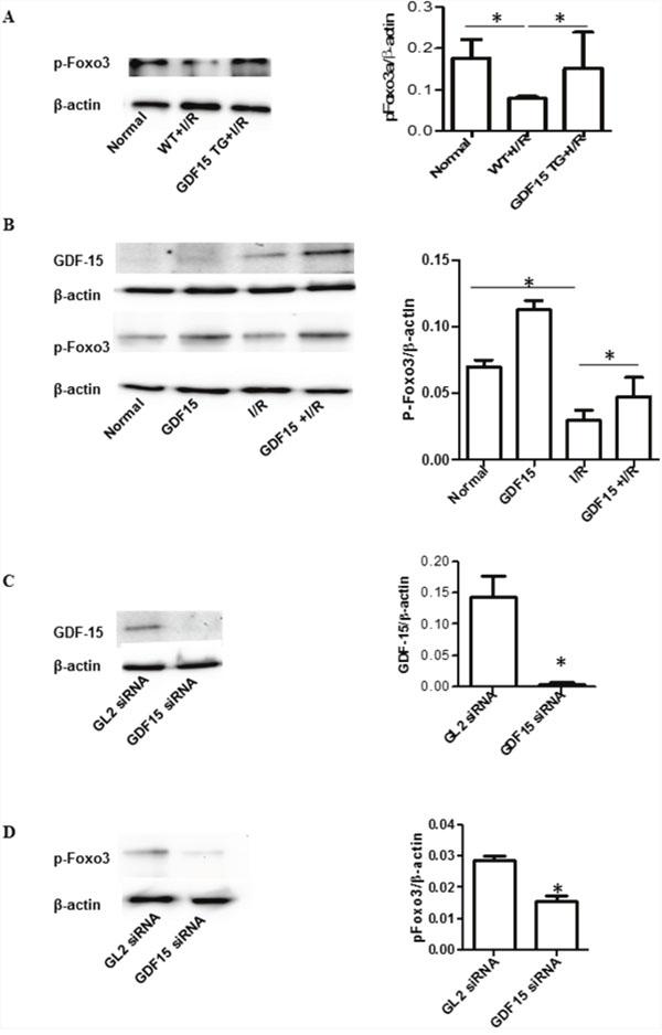 GDF15 increased phosphorylation of Foxo3a.