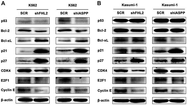 Knockdown of either FHL2 or iASPP could affect the p21 and Bcl-2 signaling pathways in AML cells.