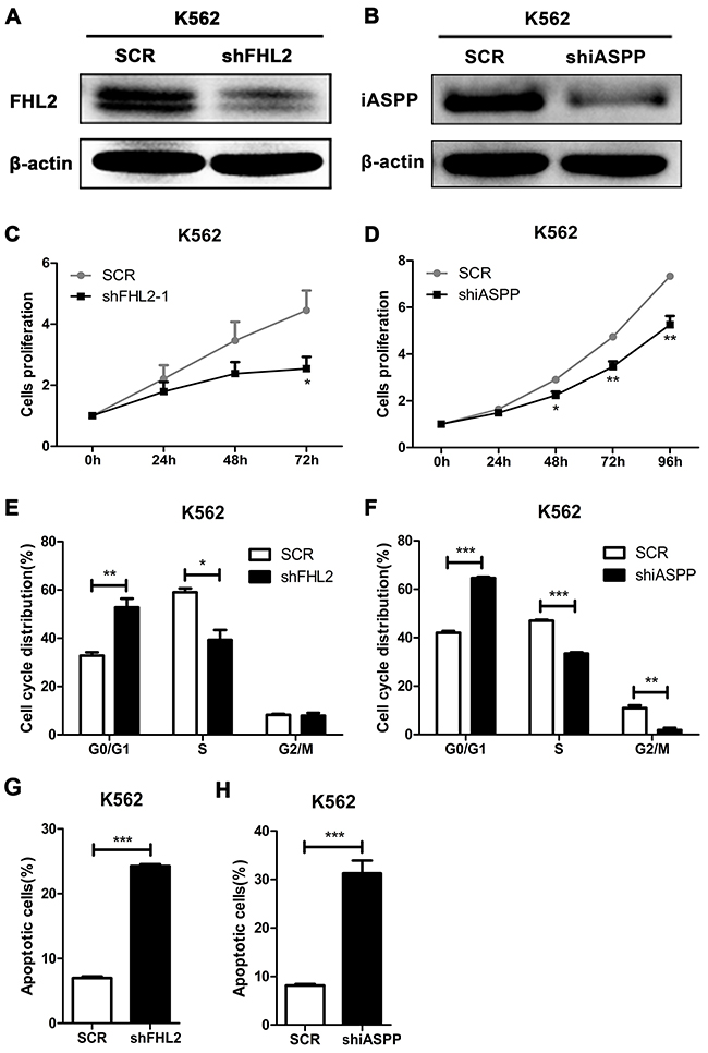 Silence of FHL2 or iASPP in K562 cells reduces cell proliferation, induces cell cycle arrest at G0/G1 phase, and increases cell apoptosis.