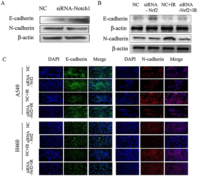 Down regulation of Notch1 or Nrf2 reduces radiation-induced EMT in NSCLC cells.