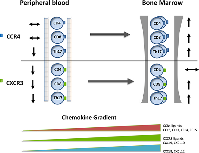 The pattern of chemokine concentration and CXCR3+ and CCR4+ expression on T cell subsets within the blood and bone marrow in patients with paraproteinaemia.