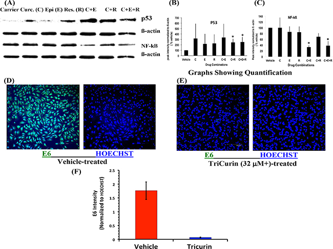 TriCurin causes restoration of p53 and suppression of NF-kB and E6 in HeLa cells.