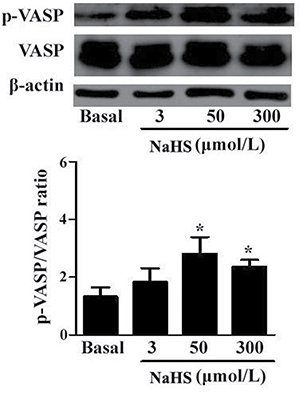 NaHS enhanced the phosphorylation level of VASP in vascular tissues (*p < 0.05 as compared with the basal group, n = 8).