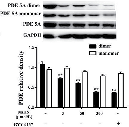 Both NaHS and GYY4137 inhibited the formation of PDE 5A homodimers in vascular tissues.