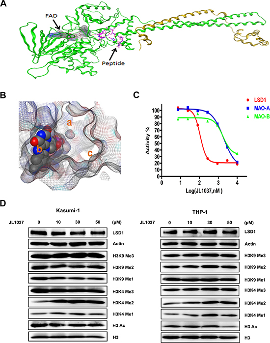 Docking strategy of compound JL1037 and its LSD1 specific inhibitory activity.