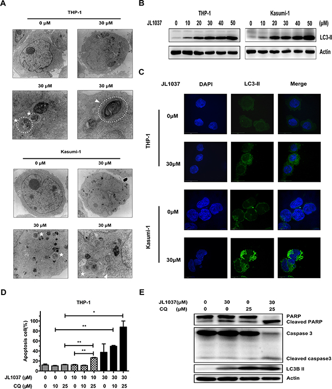 JL1037 induces cell autophagy in THP-1 and Kasumi-1 cells.
