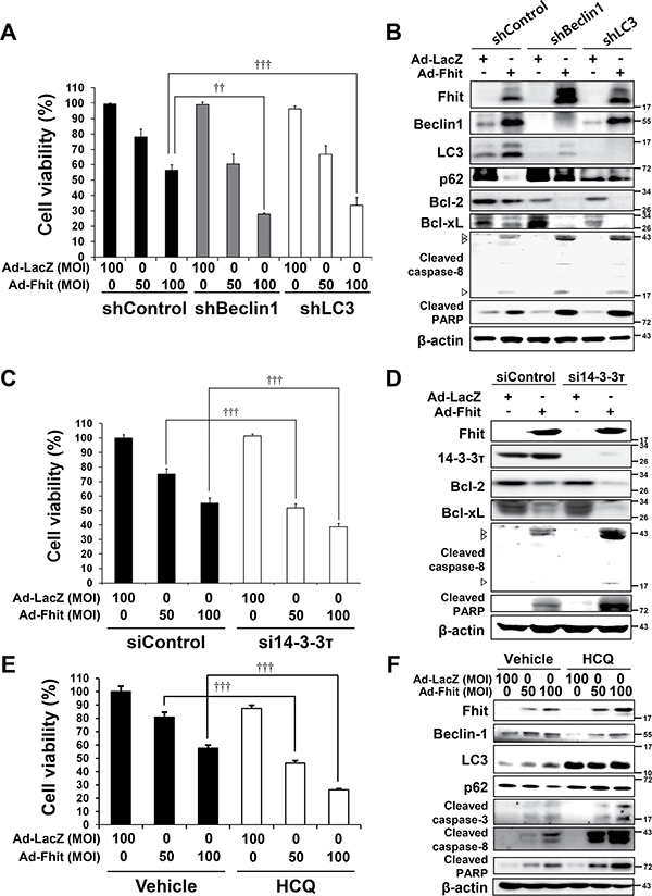 Inhibition of autophagy enhances Fhit-induced cell death.