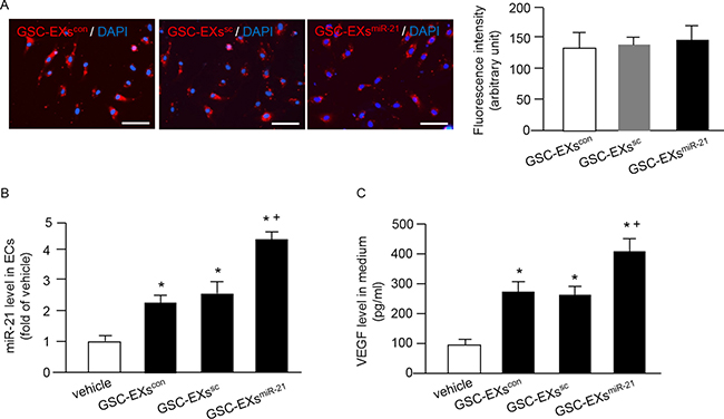 Incorporation of various GSC-EXs into ECs and GSC-EXsmiR-21 had better effects on increasing miR-21 level and VEGF secretion of ECs.