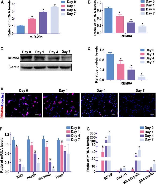 The endogenous expression levels of miR-29a and RBM8A during RPC differentiation.