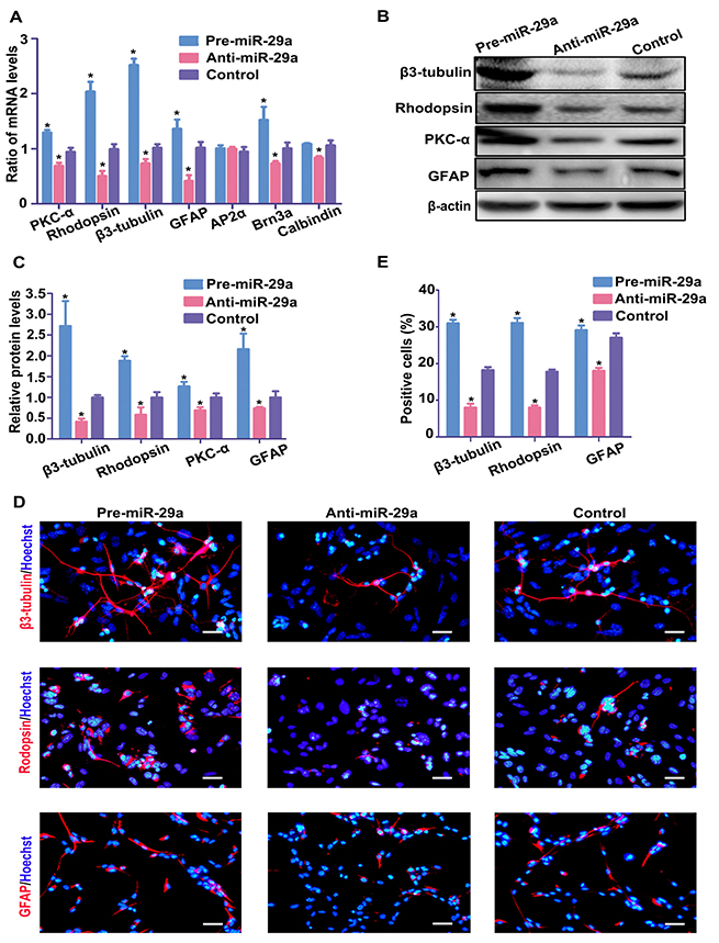 miR-29a promotes RPC differentiation.
