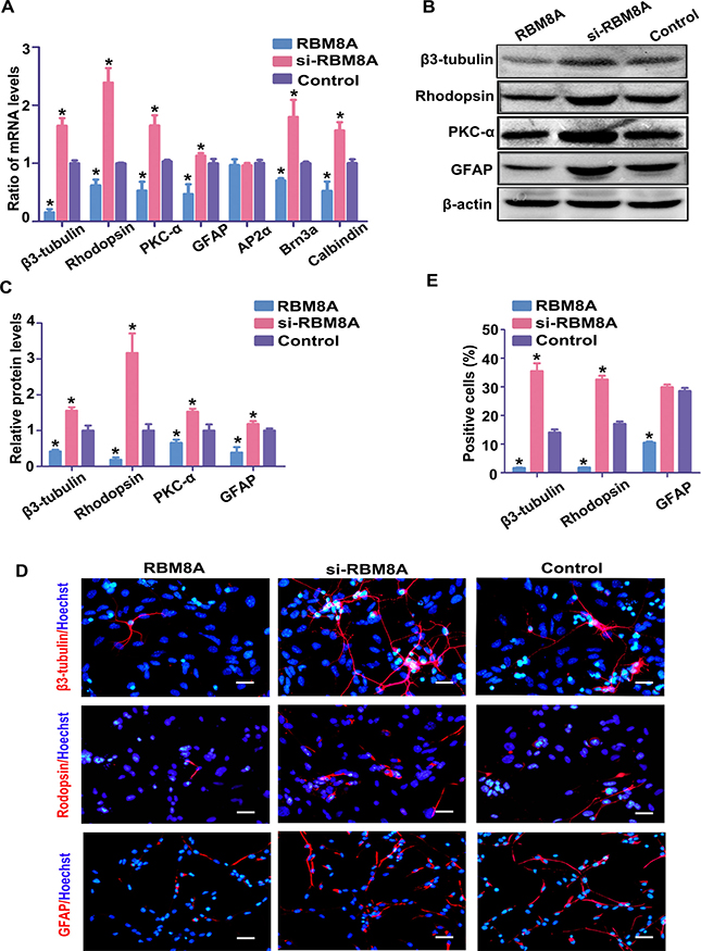 RBM8A reduces RPC differentiation.